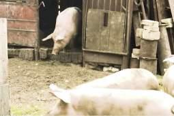 Саранча уничтожает урожай в Дагестане