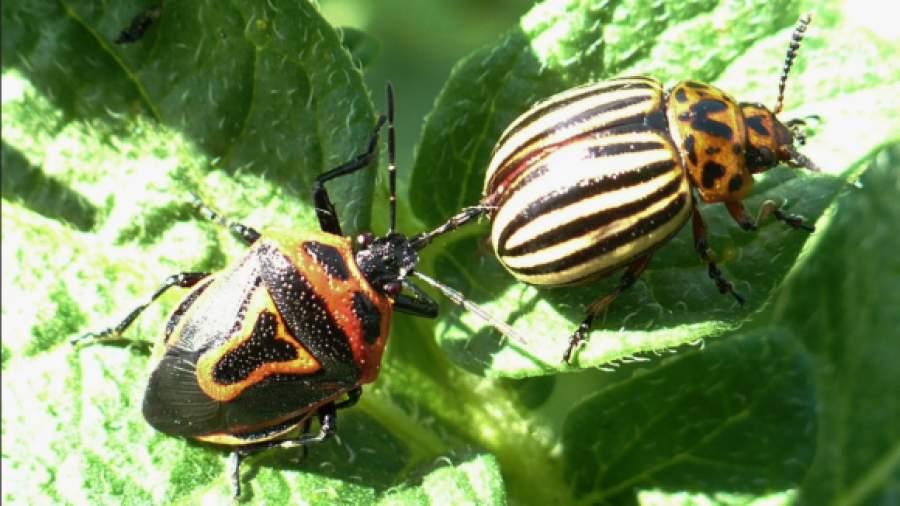 энтомофаги колорадского жука