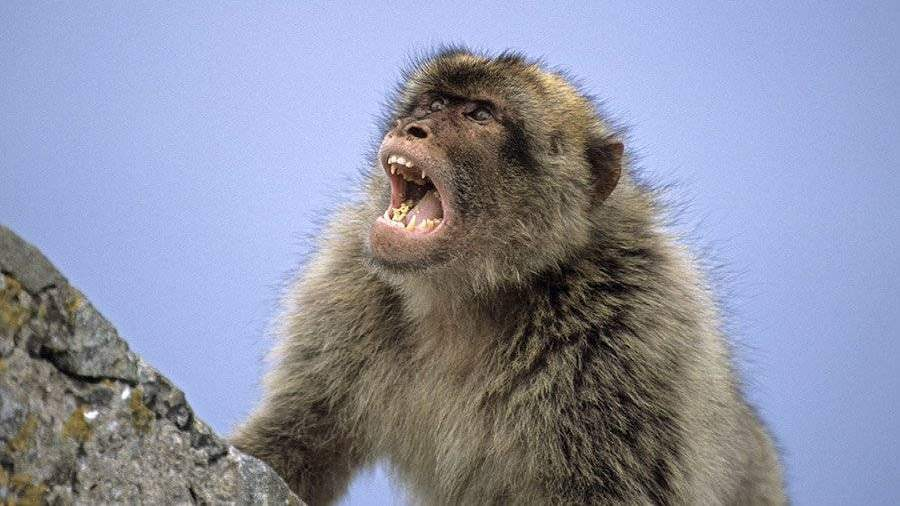 Сбежавшую под Рязанью обезьяну отыскали и расположили вкарантин