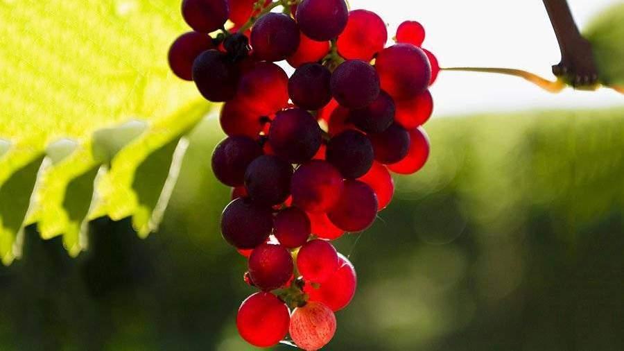 Гроздь винограда ушла смолотка вЯпонии за11 тыс. долларов