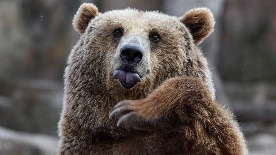 ВШелеховском районе медведь откусил руку пьяному посетителю придорожного кафе