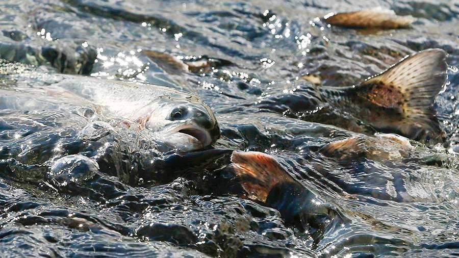 Проект концепции развития рыбохозяйственного комплекса РФ внесут вкабмин до1ноября