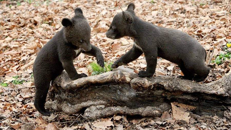 2-х гималайских медвежат, оставшихся без мамы, выпустили вдикую природу
