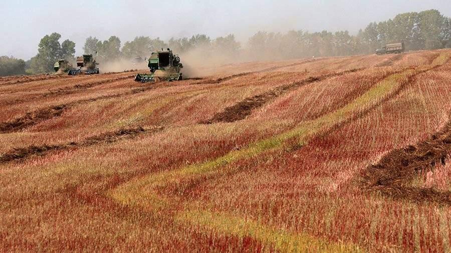 Специалисты прогнозируют рекордный урожай гречихи в Российской Федерации в этом 2017
