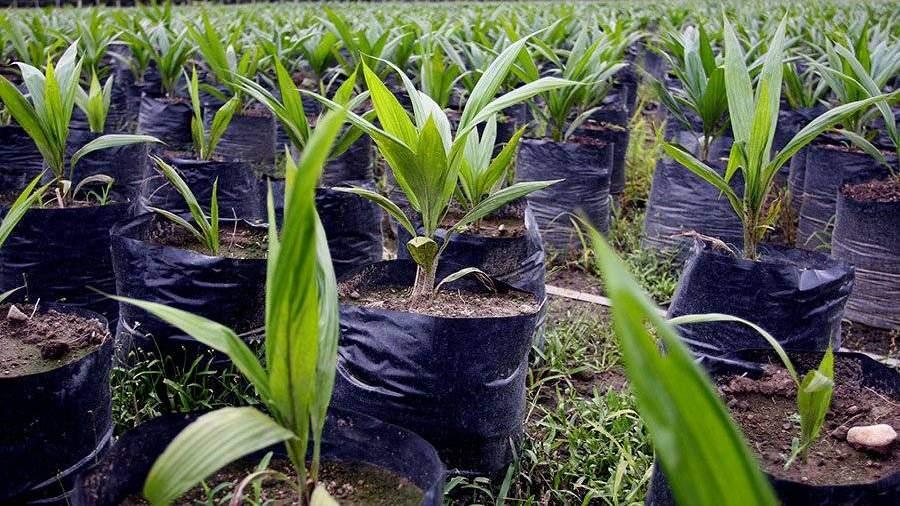 В Российской Федерации разрабатывают ГОСТ для пальмового масла