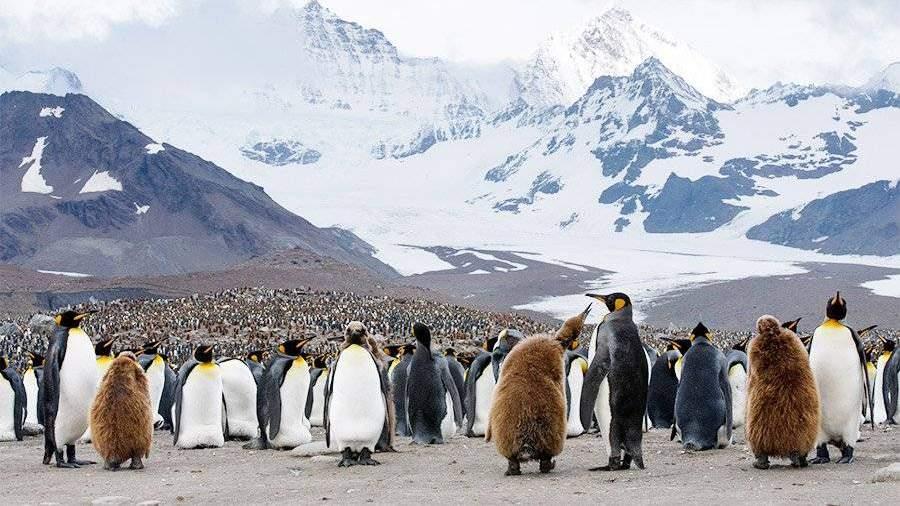 Колония пингвинов вАнтарктике лишилась потомства из-за голода