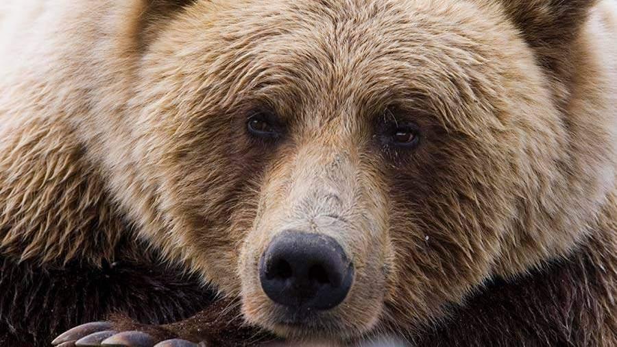 Медведь забрёл вцентр города Елизово наКамчатке