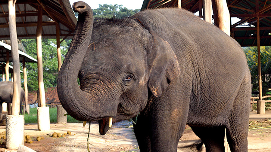 ВТаиланде слониха убила своего владельца и попробовала утаить тело