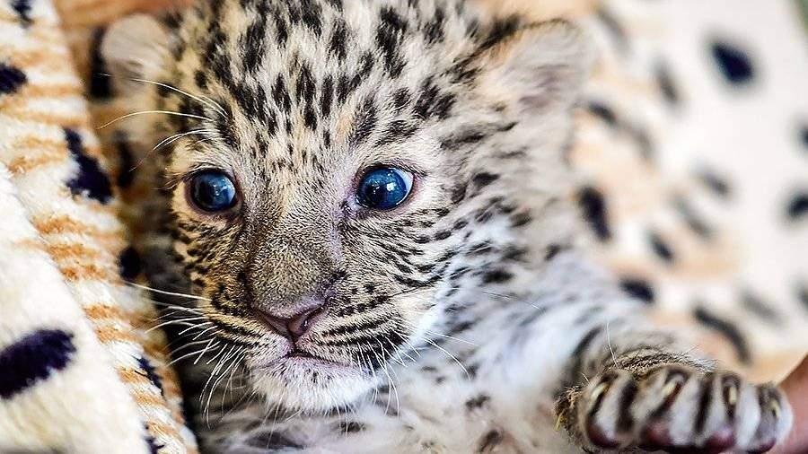 ВПриморье всамом начале года обнаружили 15 котят дальневосточного леопарда