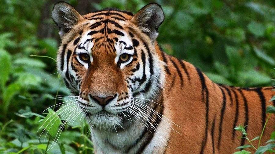ВИндии тигр-людоед ворвался насвадьбу