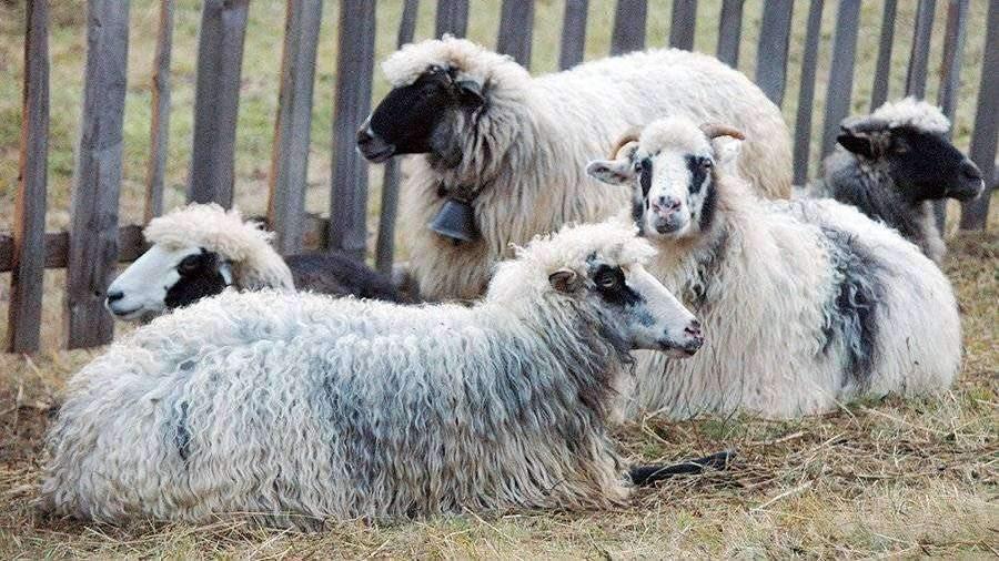 Стадо овец создало угрозу для ПРО США вевропейских странах
