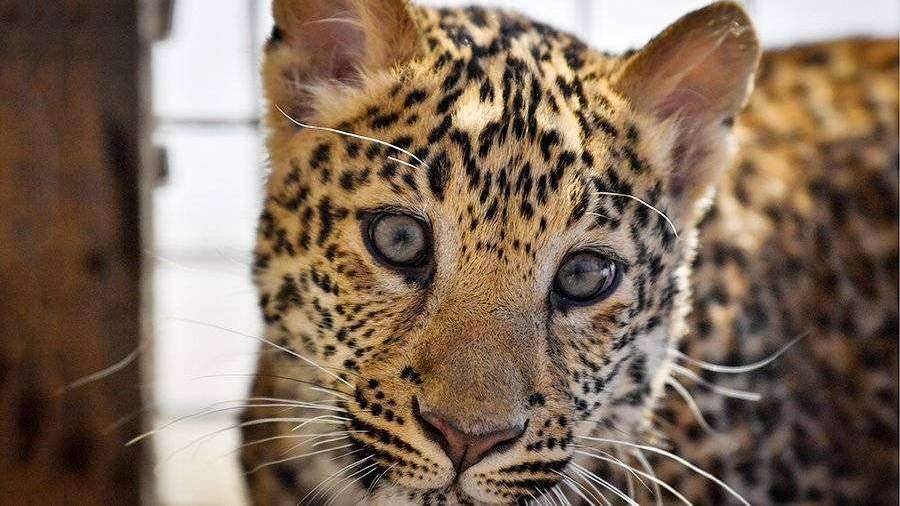 Игры любопытного леопарда с ногой туриста попали на видео