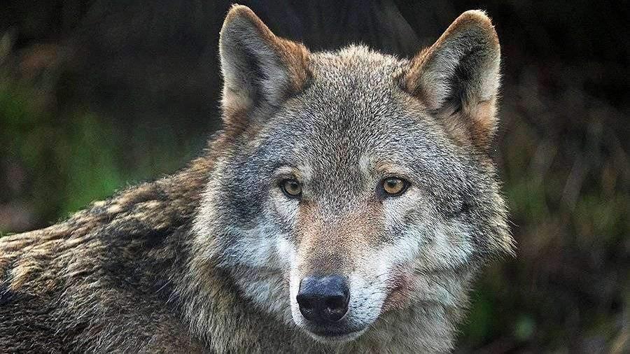 """Результат пошуку зображень за запитом """"волк"""""""