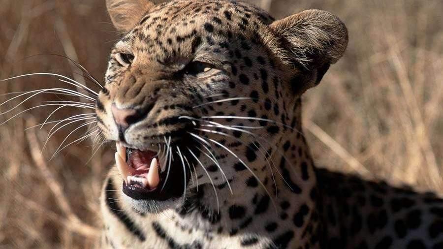 Схватка питона и леопарда попала на видео