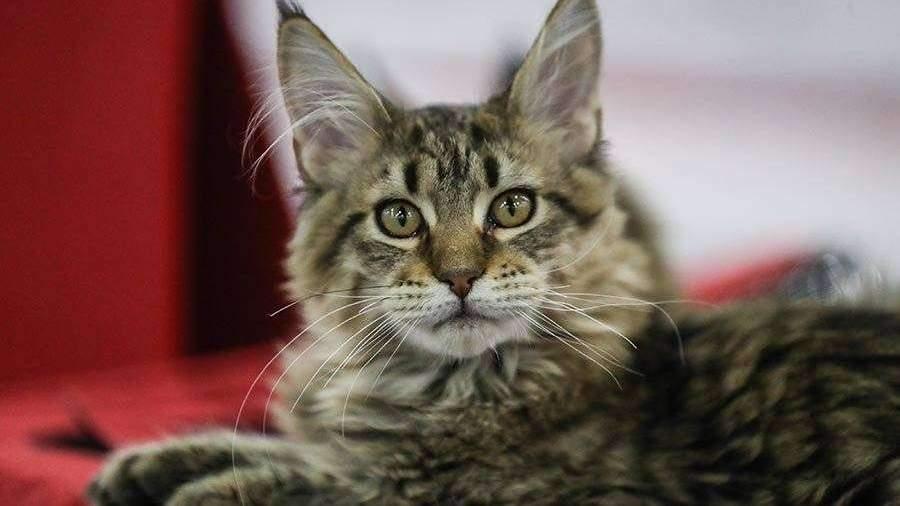 названы самые популярные породы кошек у москвичей в 2019