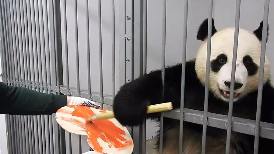 В московском зоопарке самец панды раскрасил валентинку для своей подруги