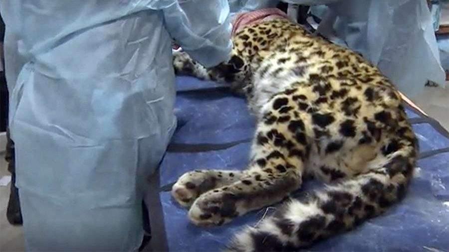 Раненного в Приморье леопарда самолетом отправили на операцию в Москву