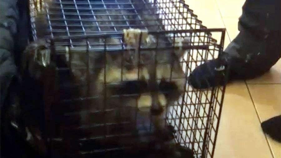 Сбежавшего из дома под Санкт-Петербургом енота нашли спустя 1,5 месяца