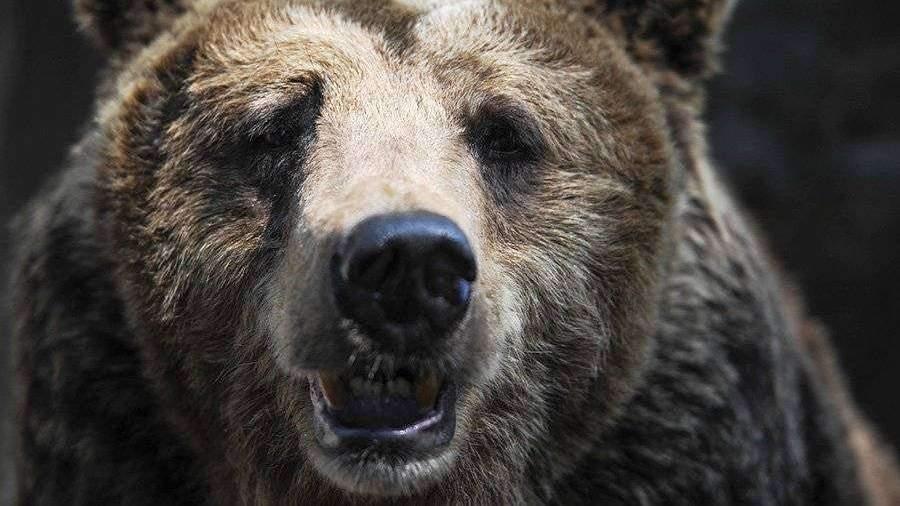Экологи предупредили об опасности встретить медведя в Подмосковье