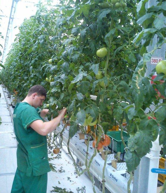 Российские производители готовы заместить турецкие овощи