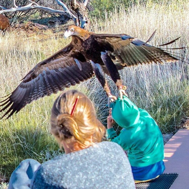 В Австралии орел чуть не утащил в когтях маленького мальчика