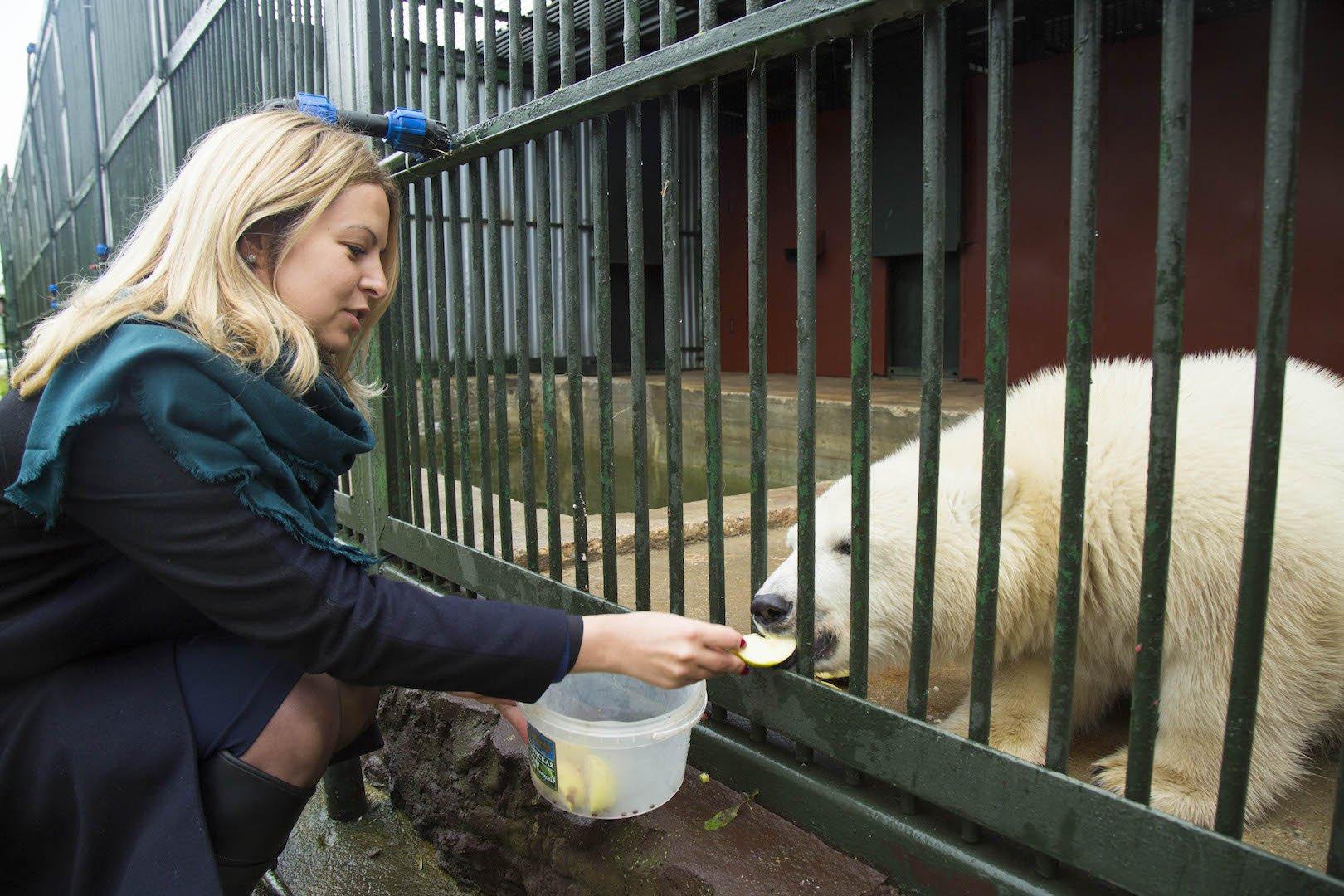 Россия стала главным поставщиком белых медведей в зоопарки мира