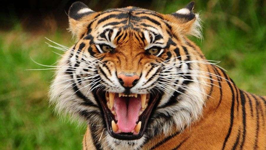 Depositphotos 37289893 l 2015 - Тигры под угрозой вымирания