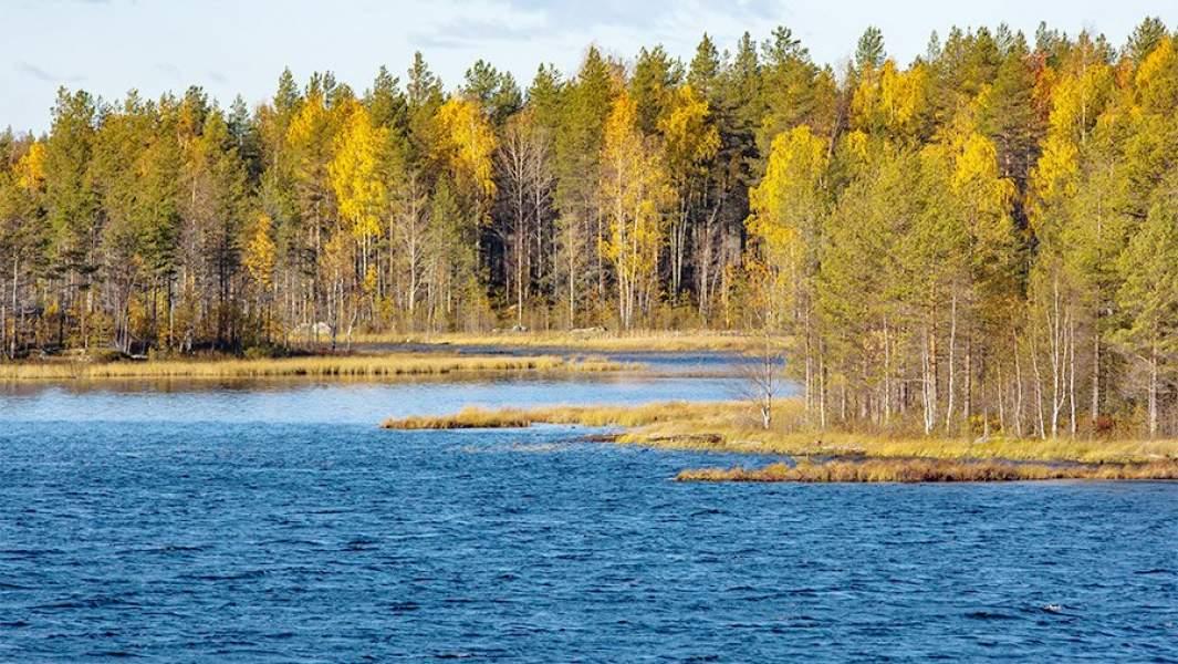 Молодой лес по берегам реги Сегежа в Карелии, осень, березы