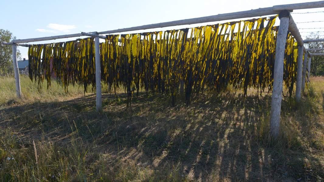 Водоросли ламинария (морская капуста) во время просушки.