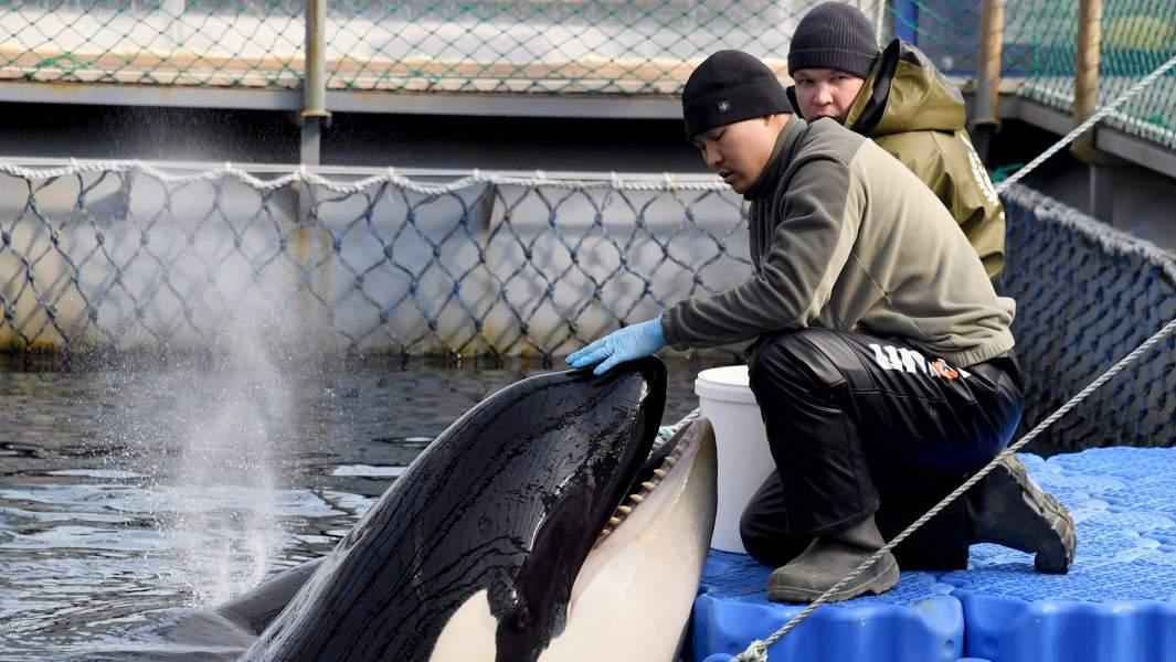 Косатка в вольере Центра адаптации морских животных в бухте Средняя Приморского края