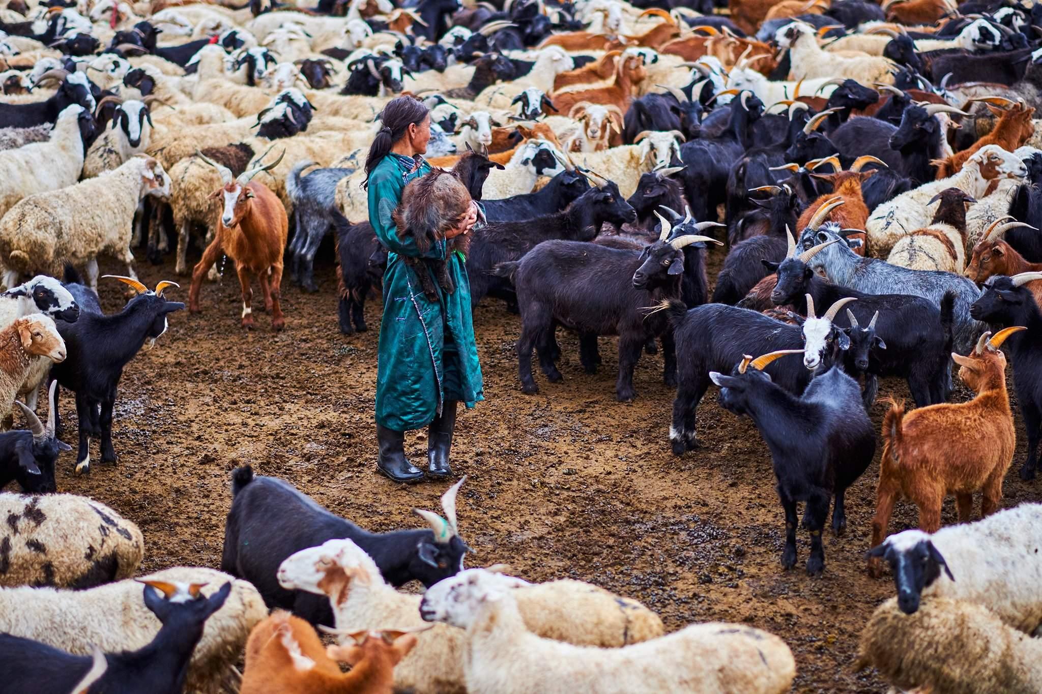 Тэд 5 хошуу малтай. Адуу, хонио халуун, үхэр, тэмээ, ямаагаа хүйтэн амьтан гэж үздэг. Халуун хошуут адуу, хонины махыг идшэнд хэрэглэдэг.
