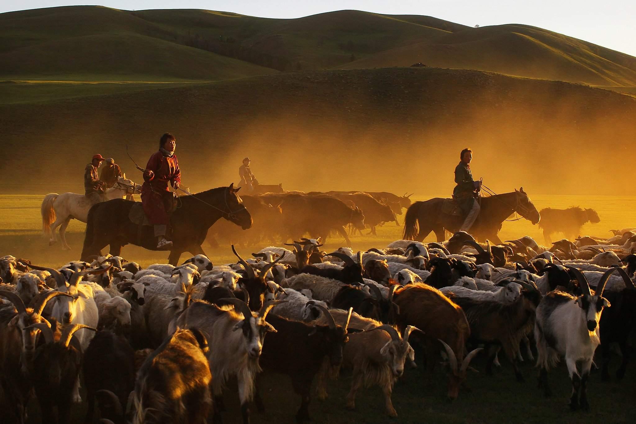 Монголчууд малаа гаргалгүйгээр цусыг нь уудаг. 300 грамм цус авч уухад мал үхэхгүй, хэд хоногийн дараа сэргэнэ.