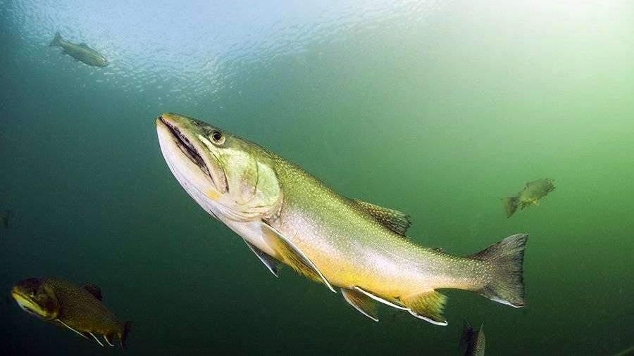 Ученые определили самую полезную среди сибирских рыб