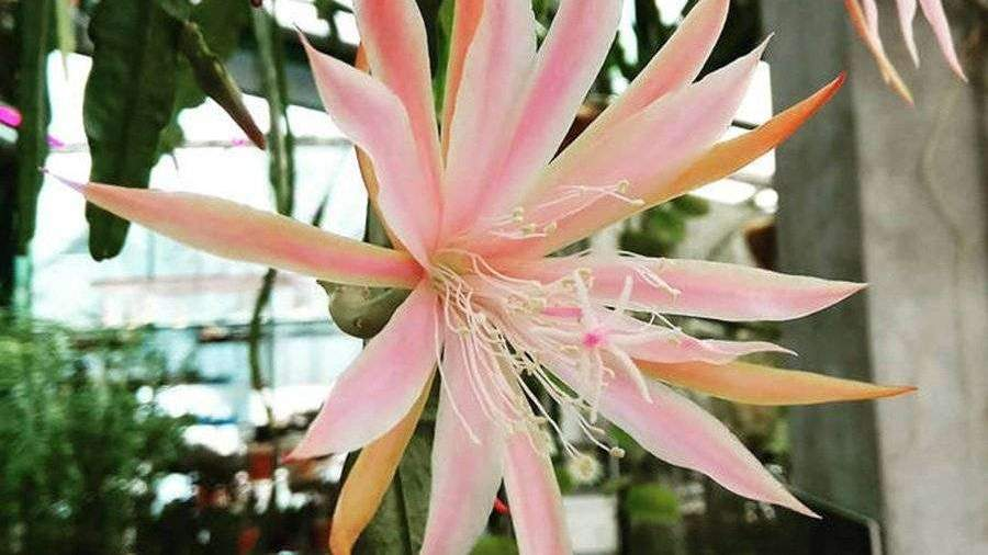 Кактус-орхидея расцвел в «Аптекарском огороде» в Москве