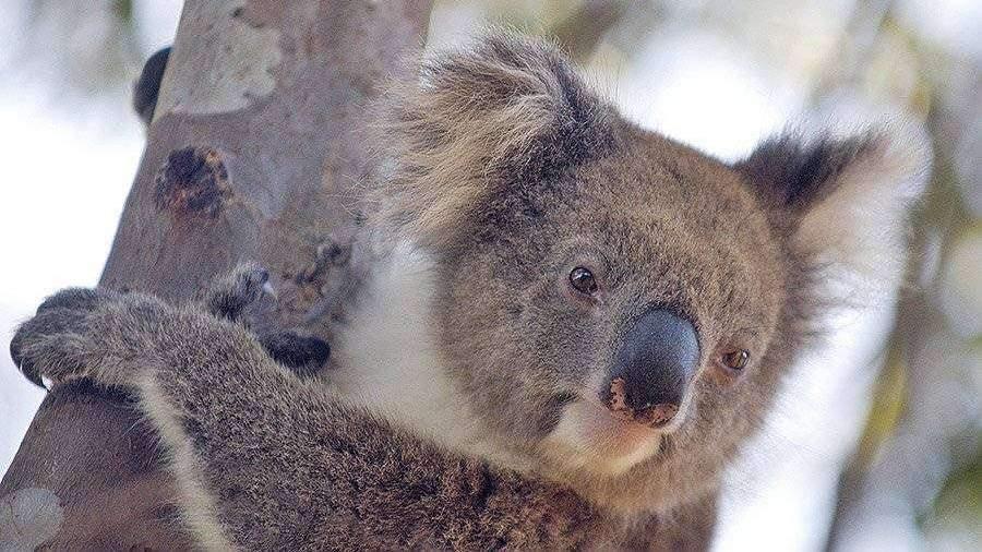 v-avstralii-zaavili-o-vimiranii-koal