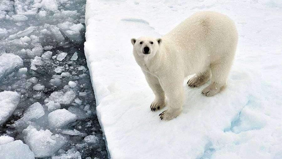 Ученые рассказали о количестве пластика в рационе белых медведей