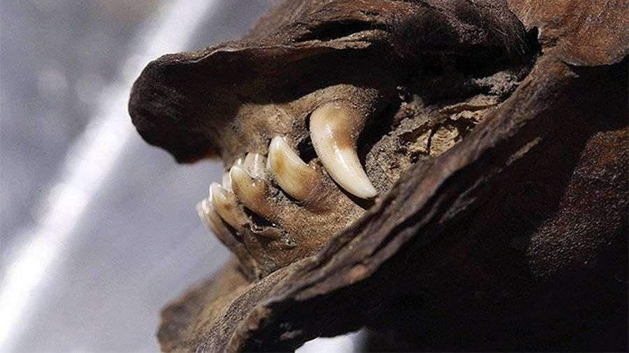 Ученые нашли в Сибири мумию щенка возрастом 18 тыс. лет
