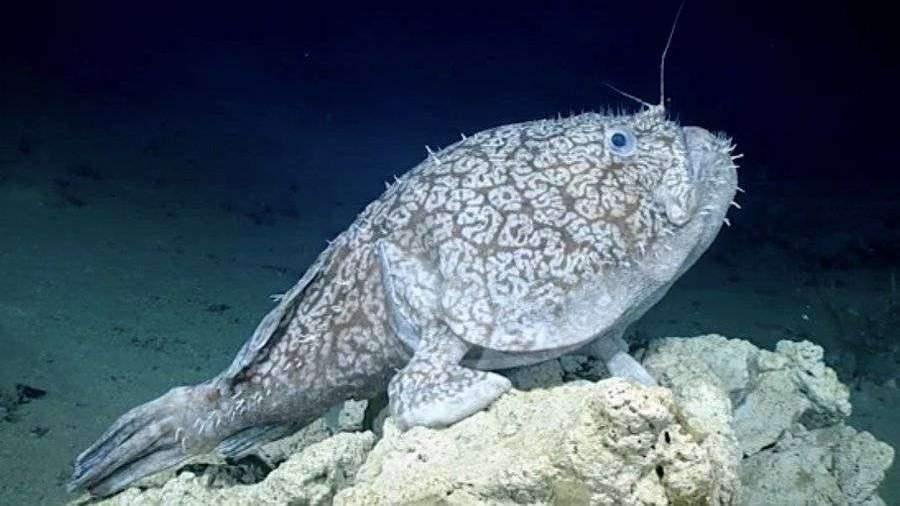 В США на видео попала редкая рыба «с ногами»