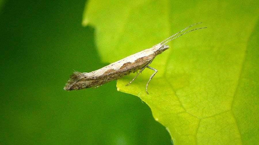 В США выпустили в природу генетически модифицированную бабочку