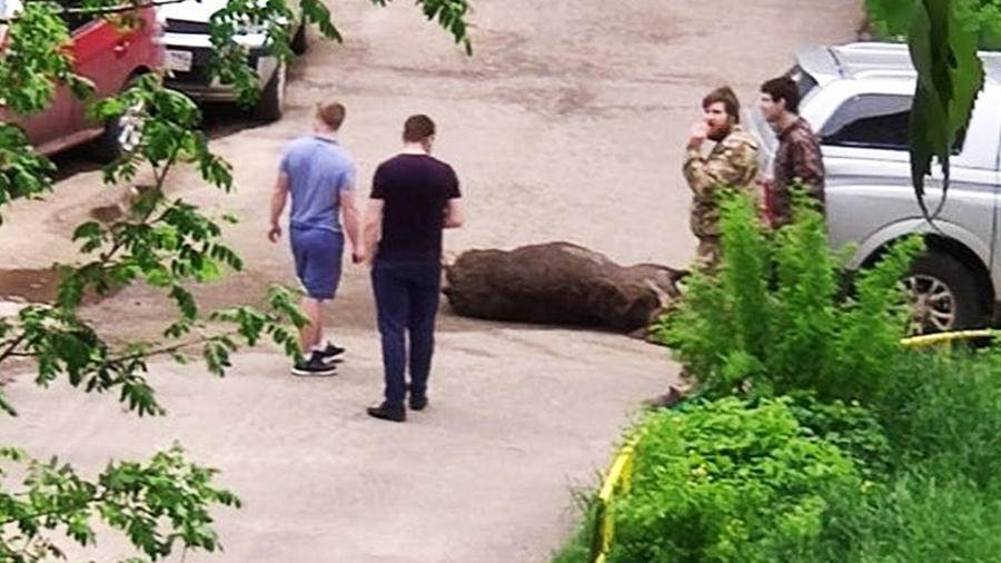 Очевидцы засняли пробившего головой школьные ворота в Дубне лося | Видео