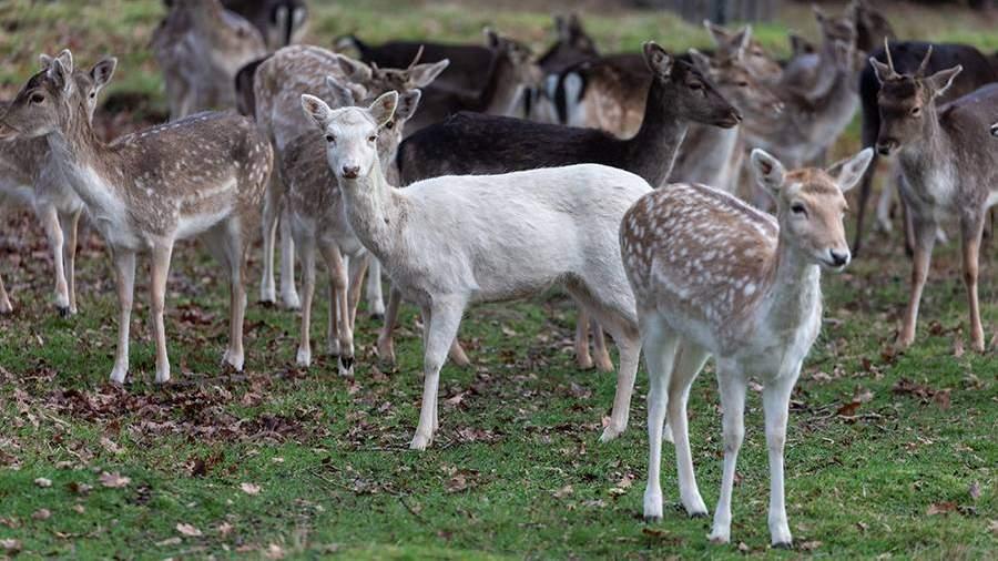 В Англии полицейские застрелили редкого белого оленя