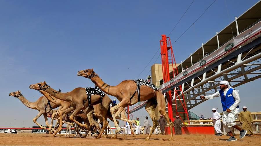 Довели до автоматизма: в Эмиратах к гонкам на верблюдах привлекли роботов |  Фотогалереи | Известия