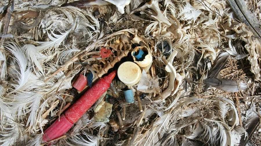 Останки птенца альбатроса, которого родители кормили пластиковым мусором
