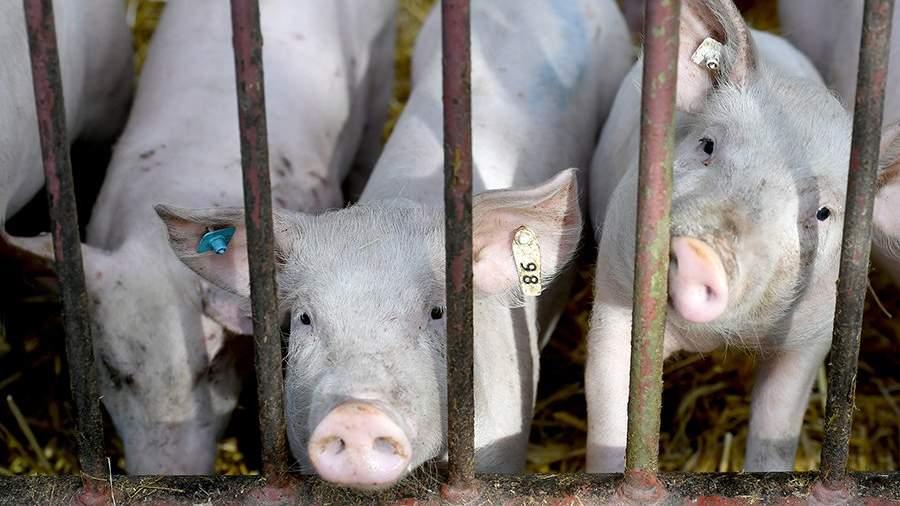 свиньи решетка забор