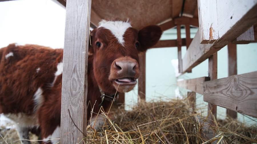деревня дача сельское хозяйство корова