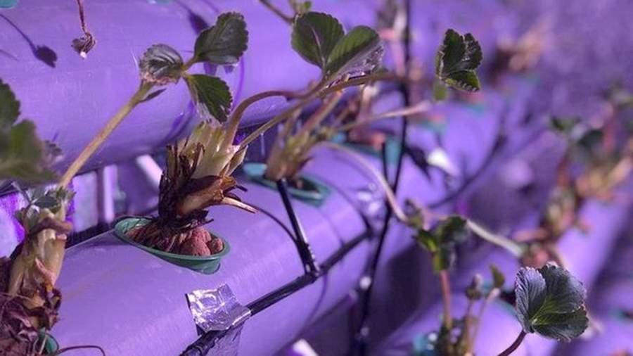 Круглогодичная ферма по выращиванию клубники под землей у подножия вулканов