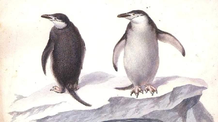 Пингвины. Акварель из альбома П. Михайлова