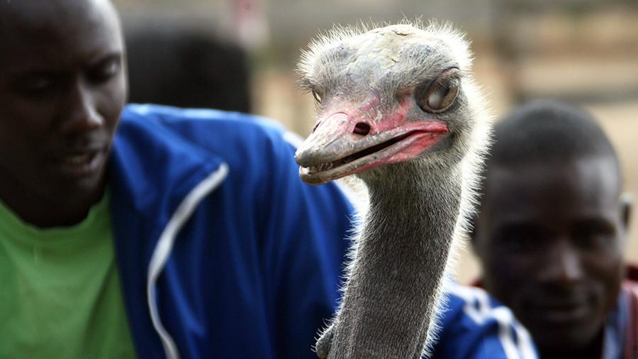 Птичий грипп в Африке