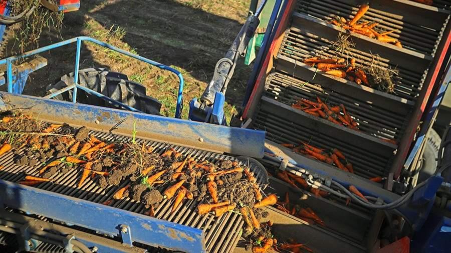 Морковоуборочный комбайн во время сбора урожая