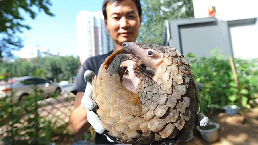 Панголин в одном из центров передержки диких животных в Китае